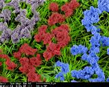 "False-color scanning electron microscopy (SEM) image depicts a ""NanoGarden"" made of CuO nano flowers and Cu(OH)2 nanowires."