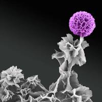 An SEM image of a thin-sheet network composed of doped aniline oligomers. The aggregated sheets in the upper right corner forms a cluster that mimics the look of a flower, whereas other flexible sheets represents leaves and stems.