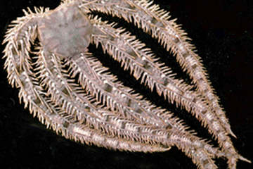 Brittlestar uses Mg nanoparticles to forge its calcite armor
